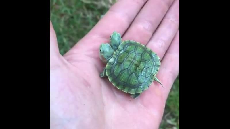 Two headed turtle двухголовая черепашка
