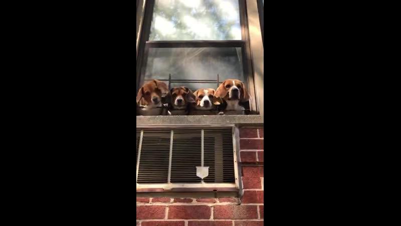 Восхитительные щенки бигля следящие за улицей