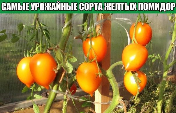 Самые урожайные сорта желтых помидор