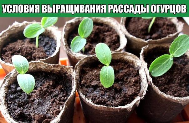 Условия выращивания рассады огурцов