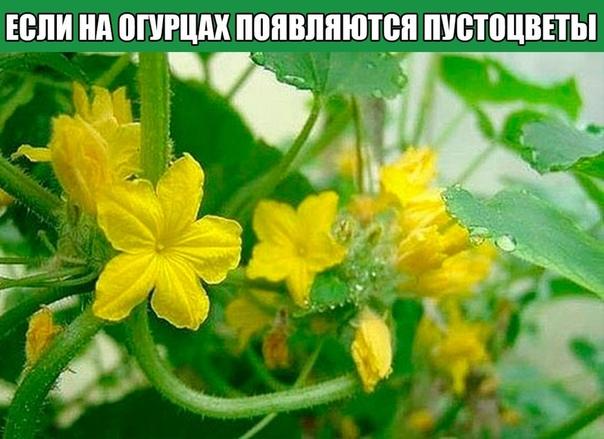 Что делать, если на огурцах появляются пустоцветы
