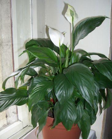 7 СЕКРЕТОВ В УХОДЕ ЗА ЦВЕТКОМ ЖЕНСКОЕ СЧАСТЬЕ Сохраните, чтобы не потерять!1. Размер горшка. Летом растение часто пересаживают в большой горшок. Это необходимо в том случае, если корни
