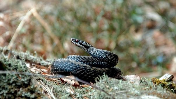 На территории Московской области обитают три вида змей: обыкновенный уж, обыкновенная медянка и обыкновенная гадюка