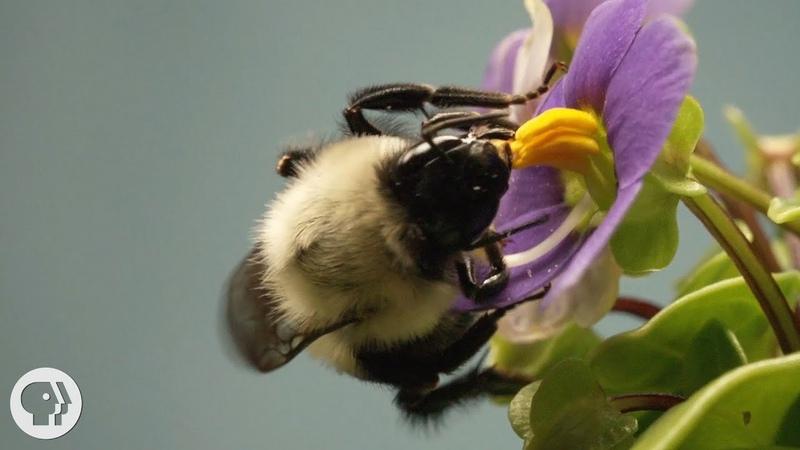 This Vibrating Bumblebee Unlocks a Flower's Hidden Treasure Deep Look