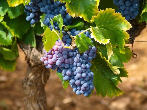 Когда и чем подкормить виноград