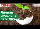 Урожай на огороде растет быстрее после применения яичной скорлупы смотрите как надо