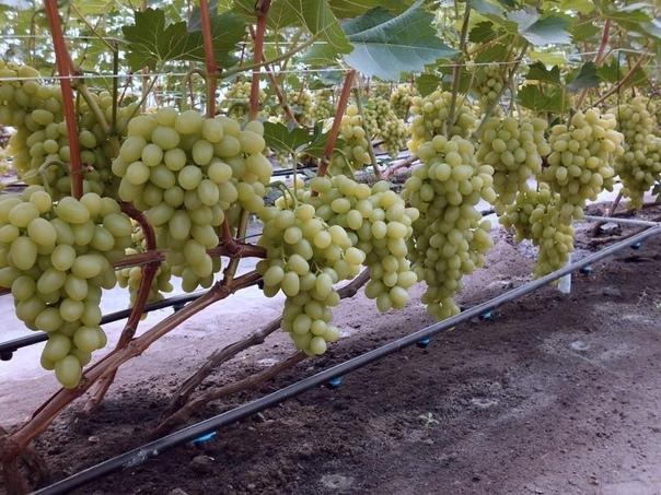 7 золотых правил полива винограда