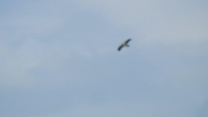 Серая ворона нападает на болотного луня.