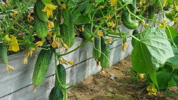 УНИВЕРСАЛЬНАЯ БОРНАЯ ПОДКОРМКА ДЛЯ БОГАТОГО УРОЖАЯ Бор это незаменимый компонент, который важен на всех стадиях жизни растения. При его недостатке резко ухудшается урожайность. Дефицит этого