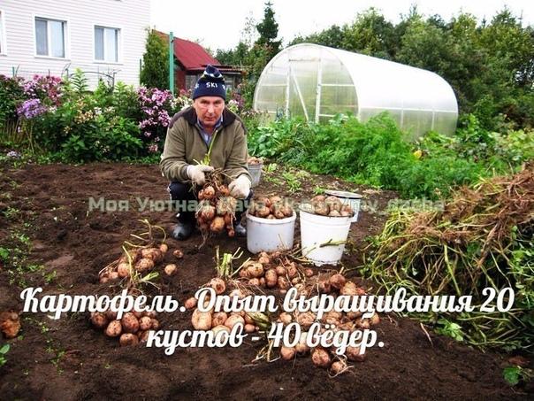 Картофель. Опыт выращивания 20 кустов - 40 вёдер. Можно ли вырастить с одного куста целое ведро картофеля Можно!!! И сейчас я вам расскажу как это сделать. Есть особенные секреты... ДелюсьЯ