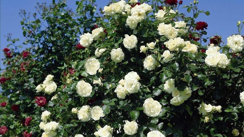 Роза дерево Обрезка плетистой розы Шнеевальцер