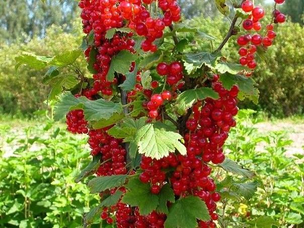 Обработка ягодных кустарников для увеличения урожая: