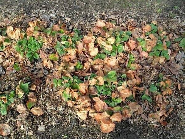 ЧЕМ ПОДКОРМИТЬ КЛУБНИКУ ОСЕНЬЮ Сохраните, чтобы не потерять! Осеннюю подкормку клубники можно проводить с сентября по октябрь, совмещая ее с обрезкой листьев. При этом внесение некоторых
