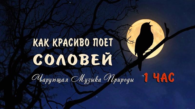 Как красиво поет соловей ночью в лесу слушать 1 ЧАС 🌿 Послушайте чарующие звуки природы матушки