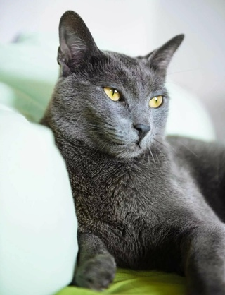 russian blue cat - HD784×1024