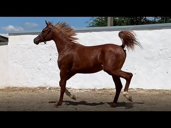 Продажа лошадей, арабская чистокровная, жеребец. Красный конь арабская лошадь жеребец продажа