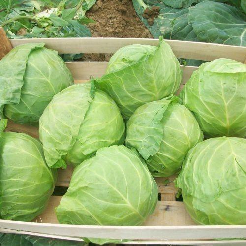 Как получить небывалый урожай капусты