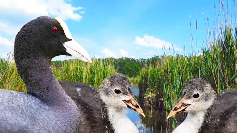 Fulica atra duck with ducklings. Fulica Americana. Eurasian Coot bird singing. Meerkoet. Nature