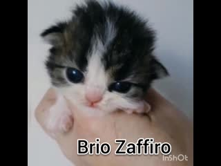 Двухнедельный шотландский котенок. Питомник Brio Zaffiro