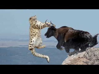 Amazing Mother Wild Yak Save Her Baby From Snow Leopard Hunting Wolf vs Bison