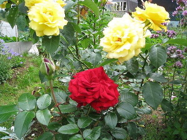 Правильный уход за розами Розы первого года посадки.Если вы посадили розы весной, соблюдая все рекомендации, а земля под саженцем влажная и рыхлая, то удобрять молодое растение не надо. Если