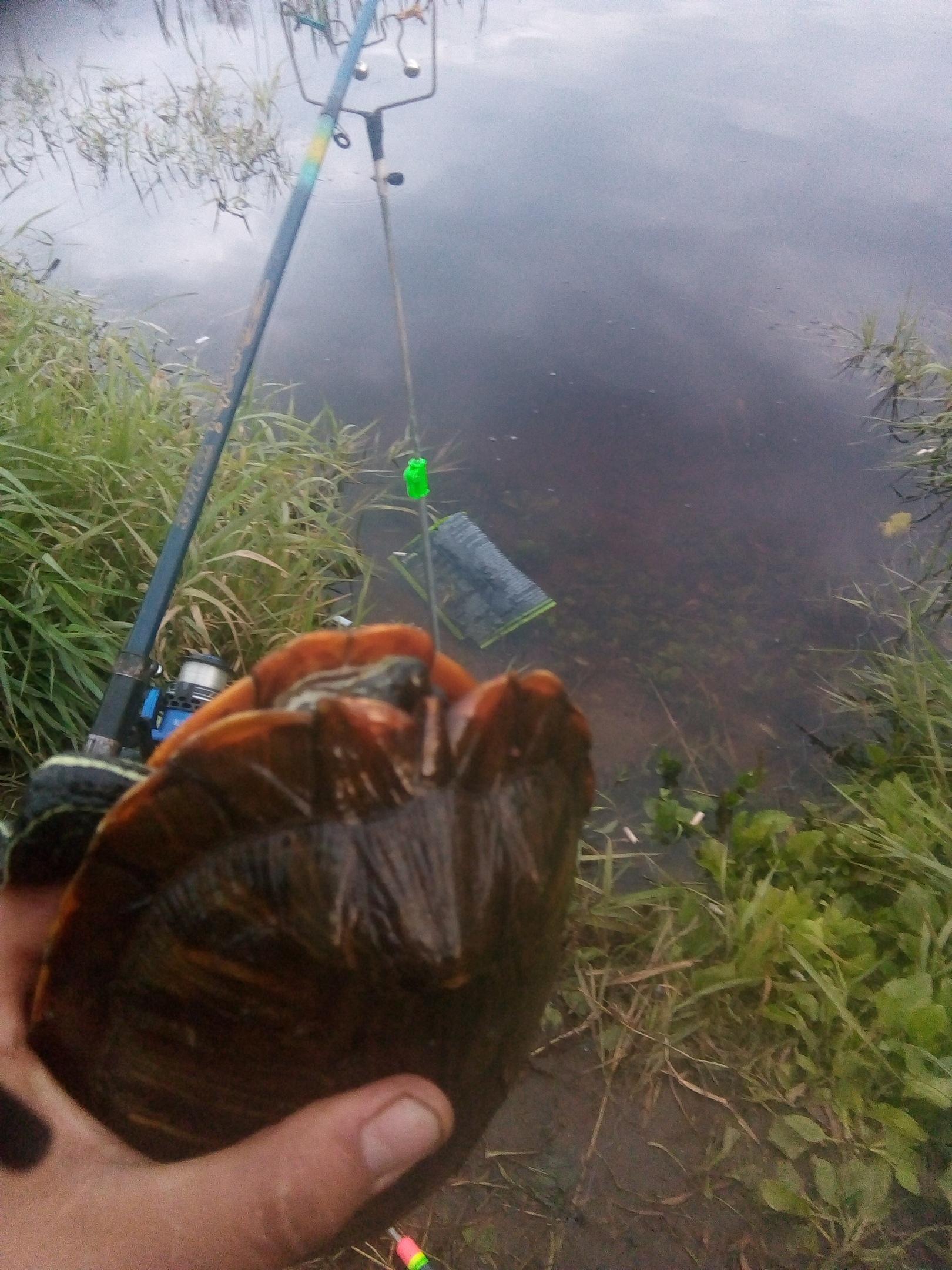 На безрыбье и черепаха рыба: рыбак в Тверской области вместо рыбы поймал черепаху