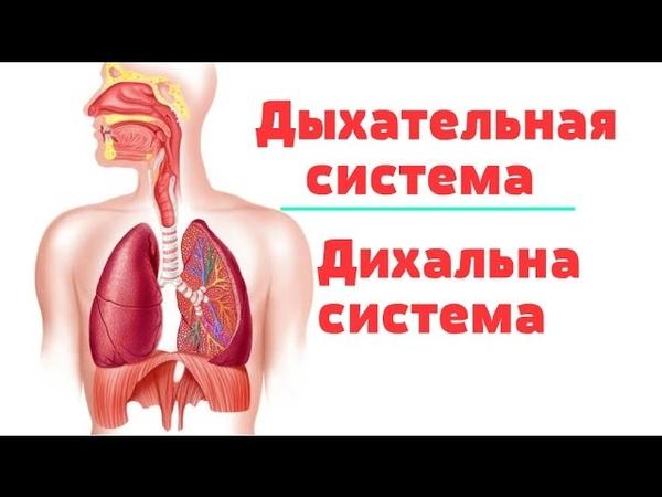 Видео-урок по анатомии. Дыхательная система Дихальна система