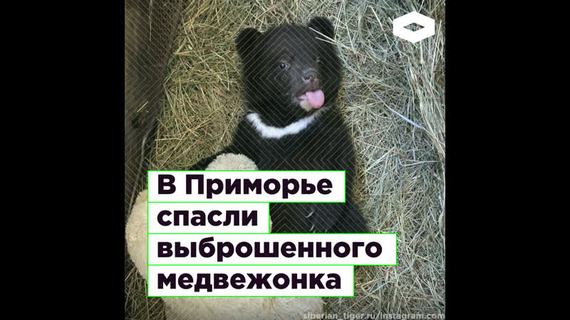 В Приморье спасли гималайского медвежонка   ROMB