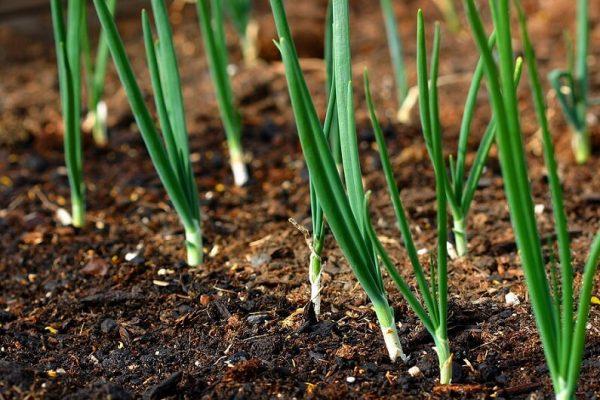 Правильная посадка лука на зелень из семян