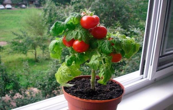 Сорта томатов, обладающих наилучшим вкусом