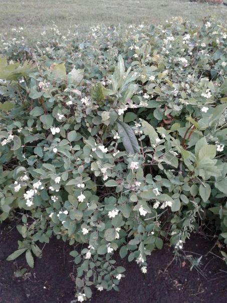 Здравствуйте, уважаемые садоводы ))) Подскажите, как называются кустарники 1.Ягоды белые - лопаются когда на них наступаешь . 2. Ягоды на вкус вишня , черемуха.Кто сажал, поделитесь