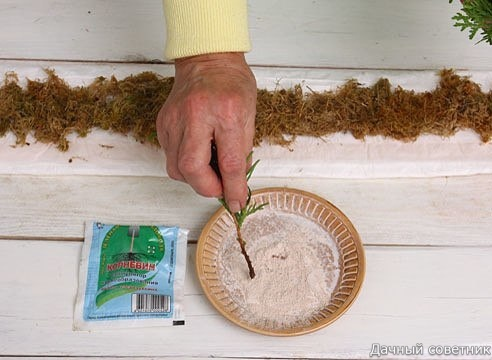 ЗИМНЕЕ ЧЕРЕНКОВАНИЕ ХВОЙНЫХ. МАСТЕР-КЛАСС Черенкование в грунте пока невозможно, но зимой вы можете укоренить черенки хвойных в домашних условиях, а весной посадить их в сад. Хорошо укореняются