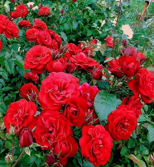 """Самые ароматные и яркие розы от  лавки """"ГЕРБЕР"""""""