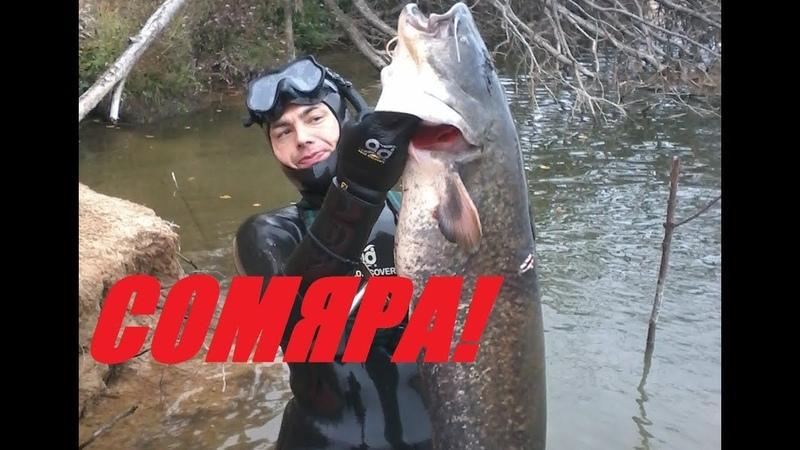 Усатый дал жару!Стерлядь!Подводная охота на Сома 2019!