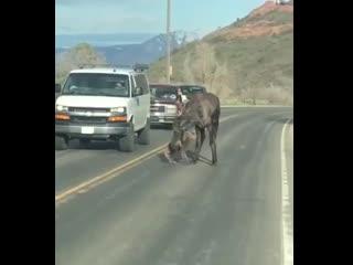 Мама лось помогает новорождённому лосёнку перейти через дорогу