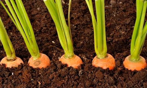 Простой способ посева моркови без прореживания.