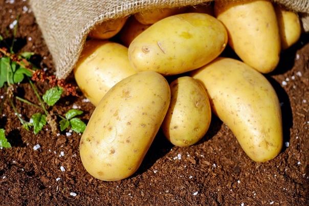 Обзор недорогих средств для предпосевной подготовки картофеля от болезней и вредителей