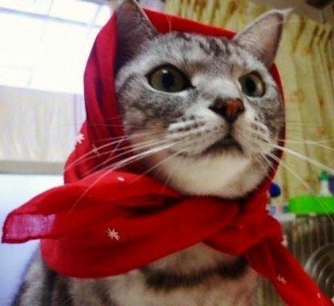 Наша кошка Машка - та еще штучка, своенравная и себе на уме Она породистая - шотландка-табби, но стерилизованная. Мы решили, что заниматься разведением котят нам некогда, да и кошка будет жить
