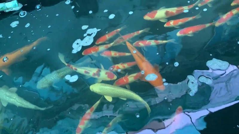 Hú hồn Hồ toàn bọt liệu đây có phải cách chữa trị phòng ngừa đỡ tốn kém nhất cho hồ Koi Fish Pond