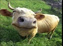 Коровы танцуют под Бразильские песни без остановки