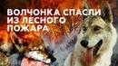В Челябинской области выходили спасённого из лесного пожара волчонка