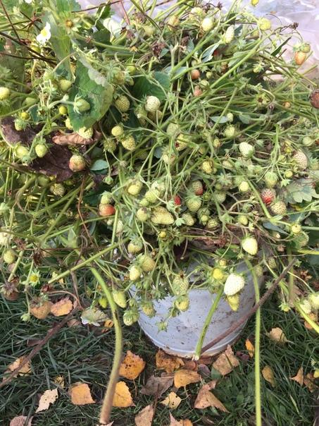 Здравствуйте дорогие садоводы и огородники! Подскажите чем обработать и подкормить ремантантную клубнику осенью. Вчера только ,7октября удалила все ягоды было очень много,но Погода уже не