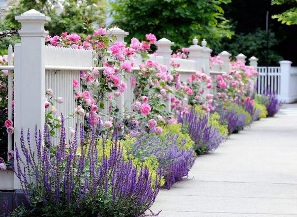 Роза Паризе Шарм Сорт чайно-гибридных роз Паризе Шарм выведен в Германии в 1965 году. Он появился в результате скрещивания таких известных сортов как Prima Ballerina и Grandiflora Montezuma.