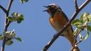 Обыкновенная горихвостка поёт ранним утром [Phoenicurus phoenicurus]