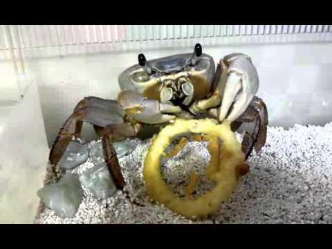 Pet crab eating onion ring