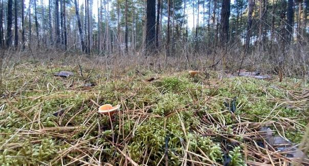 Первый случай отравления грибами зарегистрирован в...