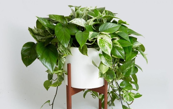 Эпипремнум Есть комнатные растения, которые не цветут, но зато обладают другим достоинством: красотой листвы. Многие любят эпипремнум именно за это. Большие блестящие листья декоративной лианы