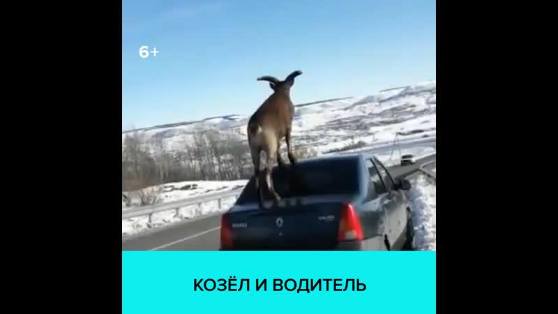 Козёл ходит по машине — Москва 24