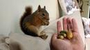 Taze meşe palamutlarını gören Sincap Bonibon keyiften ters takla attı. Sincap Alf the Squirrel