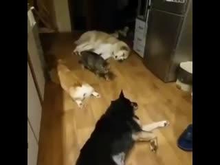 кот крадется через собак, кот ниндзя 99 лвл